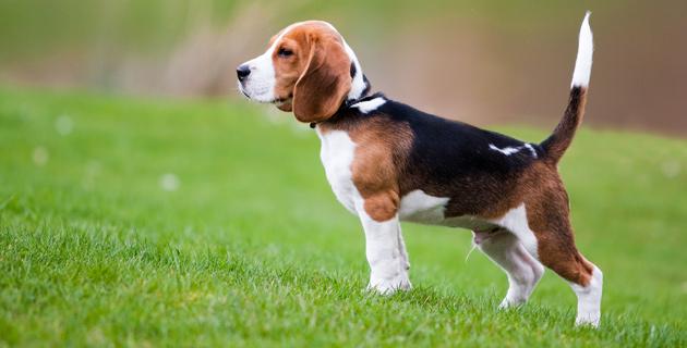 Köpeklere yönelik kalp ilacı Türkiye'de